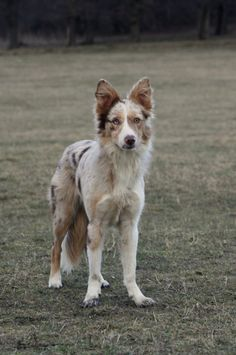 Nike (NNL S'Jayashri) red merle tan border collie bitch www.markenborder.com