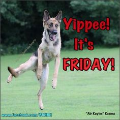 The German Shepherd Friday Dog, Friday Meme, Its Friday Quotes, Cute Good Morning Quotes, Happy Morning Quotes, Friday Wishes, Happy Friday Gif, Funny Animal Pictures, Funny Animals