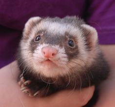 """Vinnie (affectionately nicknamed """"Vin Weasel"""") likes to kiss your ears and cheeks.  He is rambunctiously full of joy for life and likes to play with cats, dogs, and other ferrets.  Some of Vinnie's favorite activities are chasing shoe laces and stealing cat toys every chance he gets.  He is 4 years of age, a sable ferret, neutered boy, debuting for adoption today at Nevada SPCA (www.nevadaspca.org)."""