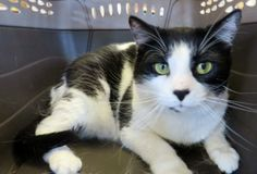 Meet C-56819 Lady ***Purrfect Perks*** a Petfinder adoptable Domestic Short Hair-black and white Cat   Mount Holly, NJ   ***This cat is a member of our Purrfect Perks Program! When you adopt this pet you will receive a...