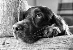 Day Dreamer by Rita Wilson Perro Cocker Spaniel, English Cocker Spaniel Puppies, Blue Roan Cocker Spaniel, Dog Photos, Dog Pictures, I Love Dogs, Cute Dogs, Springer Puppies, Field Spaniel