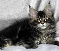 Maine Coon Kittens For Sale - Kittens                                                                                                                                                                                 More