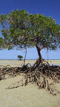 Mangrove Tree, Daintree National Park, Australia