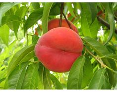 How to take care of fruit trees, peach and apple