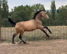 Potro PRE bayo especial Horses, Animals, Horses For Sale, Horse Breeds, Pictures Of Horses, Equestrian, Animales, Animaux, Animal