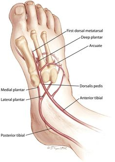 Dorsalis pedis artery is a branch of Anterior Tibial artery. ( Note: Dorsalis pedis artery terminates at proximal part of first intermetatarsal space ) Foot Anatomy, Human Body Anatomy, Human Anatomy And Physiology, Muscle Anatomy, Science Biology, Medical Science, Arteries Anatomy, Vascular Ultrasound, Medical Anatomy
