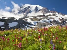 Field of wildflowers and Mount Rainier Fotografisk trykk