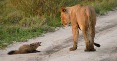 Una leonessa s'imbatte in un cucciolo di volpe… quello che fa è incredibile!