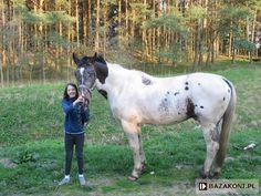 bay pintaloosa - Wielkopolski gelding Grzmot