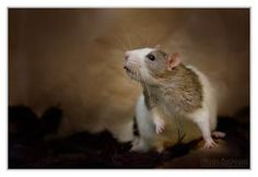 Mani 4 - Fancy rat by DianePhotos