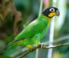Pyrilia barrabandi - Orange-cheeked Parrot, South America .
