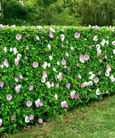Rose of Sharon (Hibiscus syriacus): summer blooms; dense hedge