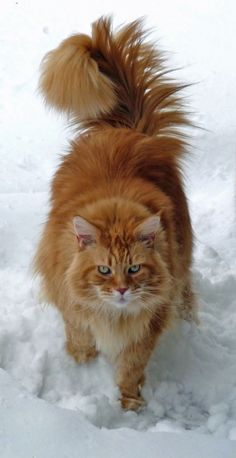 Classic Red Maine Coon in Snow http://www.mainecoonguide.com/male-vs-female-maine-coons/