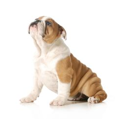 5 Surprising Facts About The English Bulldog English Bulldog Funny, English Bulldog Puppies, English Bulldogs, French Bulldogs, Bulldog Puppies For Sale, Cute Puppies, Dogs And Puppies, Corgi Puppies, Chihuahua Dogs