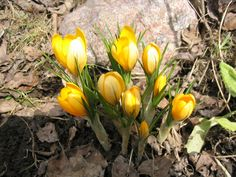picture of spring - Small spring flowers blooming crocuses gently in early spring - JPG Spring Flowers, Bloom, Plants, Crocus, Spring
