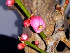 Prunus Mume, Christmas Ornaments, Holiday Decor, Christmas Jewelry, Christmas Decorations, Christmas Decor