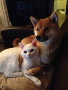 ソファが柴犬に次ぐ柴犬…外国で暮らす柴犬が超幸せそうで元気をもらえる12選