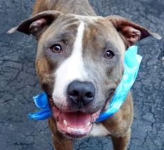 SAFE 8-24-2015 by All Breed Rescue, Vermont  --- Manhattan Center JOHN – A1047458  MALE, BROWN / WHITE, PIT BULL MIX, 2 yrs STRAY – STRAY WAIT, NO HOLD Reason STRAY Intake condition EXAM REQ Intake Date 08/10/2015 http://nycdogs.urgentpodr.org/john-a1047458/