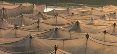 Tilapia Farming   AquaSol, Inc.