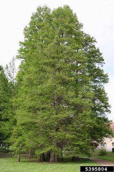 Baldcypress, Taxodium distichum