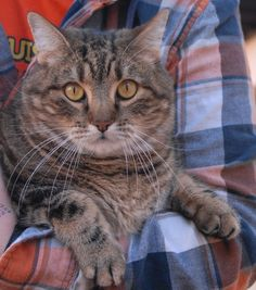 Marco is a plump, 19-pound loverboy who likes to crawl in your lap for his naps.  He is a handsome brown tabby, 7 years of age and neutered, ready for adoption at Nevada SPCA (www.nevadaspca.org).  Marco needed us when his previous owners moved into a home where cats are not allowed.  He bonds strongly with people and may do best as the only cat in the household so that he has you all to himself.