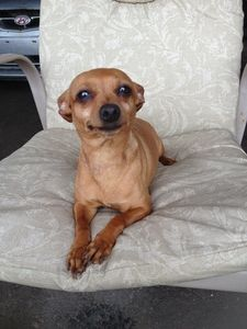 Meet pixie, an adopted Miniature Pinscher & Chihuahua Mix Dog, from Refuge Magoo in Laval, QC on Petfinder. Learn more about pixie today. Cute Chihuahua, Chihuahua Puppies, Chihuahuas, Dogs And Puppies, Shelter Dogs, Rescue Dogs, Animal Rescue, Cute Baby Animals, Animals And Pets