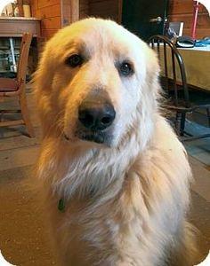 2/21/17 Rockaway, NJ - Great Pyrenees Mix. Meet Happy Pyr SCAS, a dog for adoption. http://www.adoptapet.com/pet/17624730-rockaway-new-jersey-great-pyrenees-mix