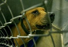 Michigan's tougher animal fighting penalties: 20 years in prison, $100,000 fine  December 31, 2012