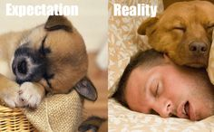 Reality is never as good as your expectations. Here are the list Moments of Expectation vs. Reality That Will Make You Weep. Art Beagle, Beagle Puppy, American Golden Retriever, Cute Puppies, Cute Dogs, Pocket Beagle, Expectation Reality, Thing 1, Dog Rules