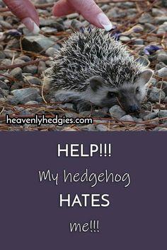 Hedgehog Bonding: Helpful Tips & Tricks Hedgehog Bath, Pygmy Hedgehog, Baby Hedgehog, Hedgehog Supplies, Animals And Pets, Baby Animals, Hedge Hog, Pocket Pet, Raccoons