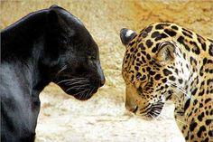 Vous vous demandez la différence entre le léopard et la panthère noire ? Animaniacs vous donne la réponse et vous explique tout !