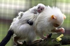 Marmosets are dedicated dads, feeding & grooming are their expertise & they are very supportive during the birth. They clean up the afterbirth & even bite off the umbilical cord!