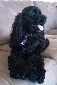 Embraced Cocker Spaniel, Luna. Click to learn the health dangers for this breed.