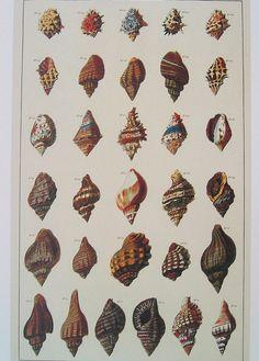 Reproduction Natural History Conchology Print #10
