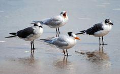 Birds - Royal Terns and Gulls     . For pet care info visite: www.petcareadvisors.com