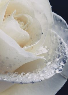 dewy white rose