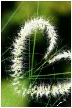 La espiga es símbolo de eternidad, ,,,de unión, ,,,,tú eres mi espiga, ,,,,