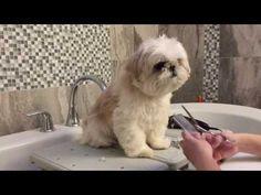 [shih tzu] Momo grooming - YouTube #shihtzu