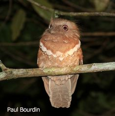 Philippine Frogmouth  (Batrachostomus septimus) sedentary lifestyle. Feeds on  grasshoppers, cicadas, crickets and beetles.