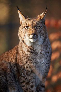 Magnificent lynx. phototoartguy.com