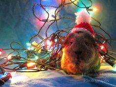 Frida :) Guinea pig Christmas.