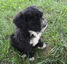 Hello everyone my name is ACE and I have a big brother that is older his name is Brutus. My dad Brandon loved Brutus so much he decided he needed me. We are a happy family of three now. Cutest Puppy Ever, Family Of Three, Portuguese Water Dog, Happy Family, Hello Everyone, My Dad, Cute Puppies, Brother, Dads