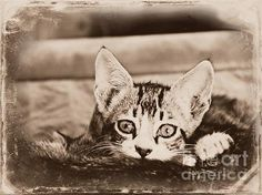 Peek A Boo by Clare Bevan  #kittens #vintagephotography #clarebevan