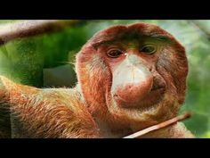 The proboscis monkey (Nasalis larvatus) or long-nosed monkey, known as the bekantan in Malay, is a reddish-brown arboreal Old World monkey that is endemic to. Wild Life, Monkeys, That Look, Youtube, Animals, Rompers, Animales, Animaux, Monkey
