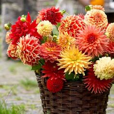 Dahlia All In One Mix   Large, healthy bulbs produce stunning, colorful blooms in mid summer until frost.