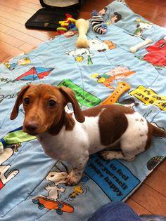 ♥♥♥♥♥♥ dachshunds dauchshunds weenier weeniers weenie weenies hot dog hotdogs doxie doxies ♥♥♥♥♥♥.