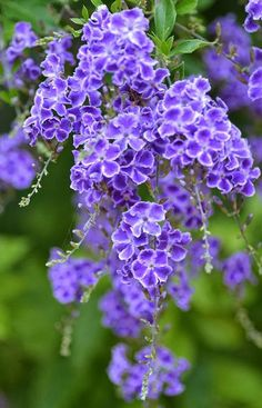 Duranta is a genus of flowering plants in the verbena family, Verbenaceae . It contains 17 species of shrubs and small . Amazing Flowers, Beautiful Flowers, Colorful Flowers, Trees With Purple Flowers, White Flowers, Duranta, Purple Garden, Flowering Shrubs, Trees To Plant
