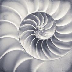 Nautilus Shell Art Sea Shell Art Nature Wall by RockyTopPrintShop White Photography, Fine Art Photography, Nature Photography, Photography Ideas, Spiral Art, Nature Prints, Art Nature, Nature Images, Nautilus Shell