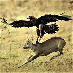 Golden Eagle will take a Deer down...