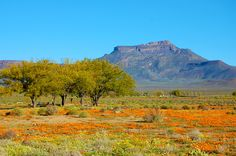 Springtime flowers in Calvinia, Northern Cape, South Africa